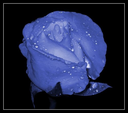 Roses images blue roses hd wallpaper and background photos - What are blue roses called ...