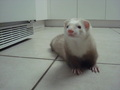 Close up of Bebop - ferrets photo