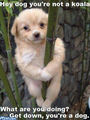 Dog koala - cute-animals photo