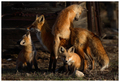 Fox family - fox photo