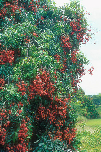 how to prepare lychee seeds