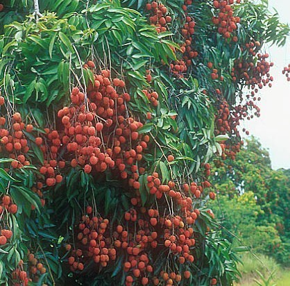 the fruit club lychee fruit