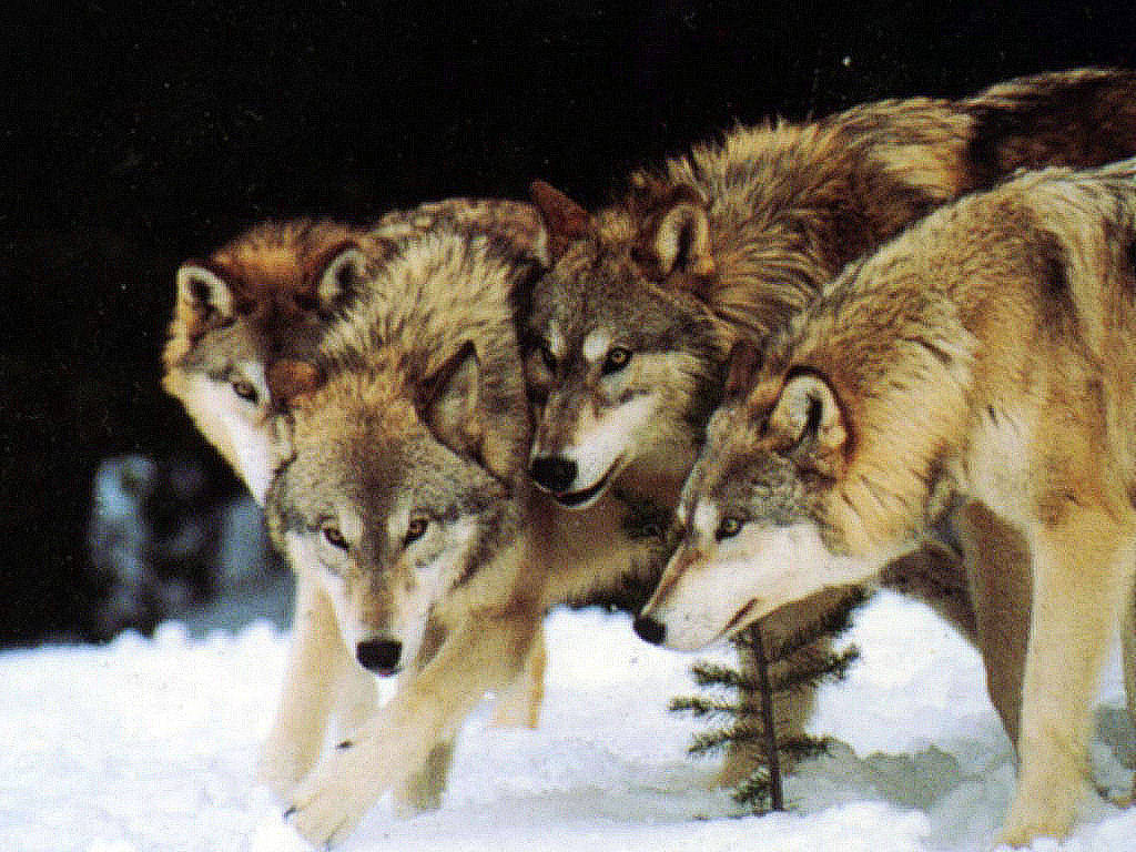 wild wolf pack wallpaper - photo #1