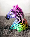 Zebra - cute-animals photo