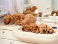 puppies -  Puppies  wallpaper