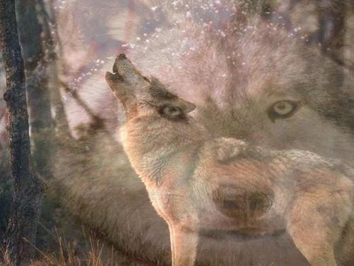 ~♥ loups ♥ ~