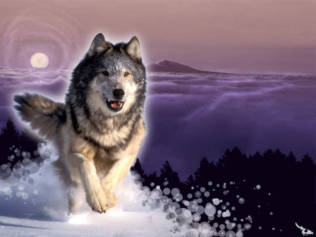 wolves wolves wallpaper 10291309 fanpop