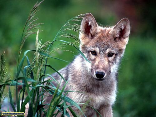 ~♥ serigala ♥ ~