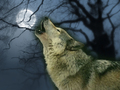 wolves - ~♥ Wolves ♥ ~ wallpaper