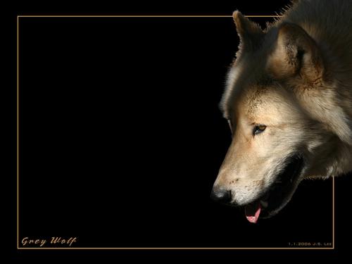 ~♥ Mbwa mwitu loups ♥ ~
