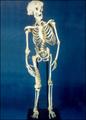 Joseph's skeleton