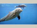 dolphins - ~♥ Dolphins ♥ ~ wallpaper