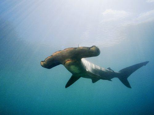 ~♥ Shark ♥ ~