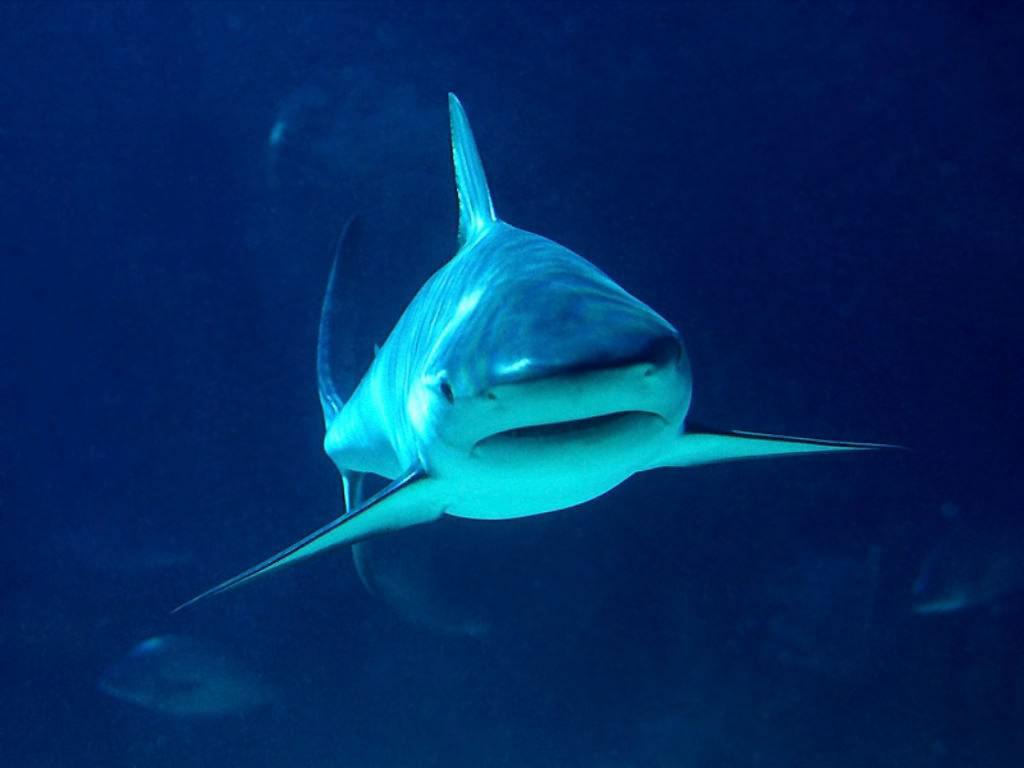 Requin Sharks Fond D écran 10310464 Fanpop