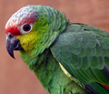 Amazon Red-Lored Parrot - parrots photo