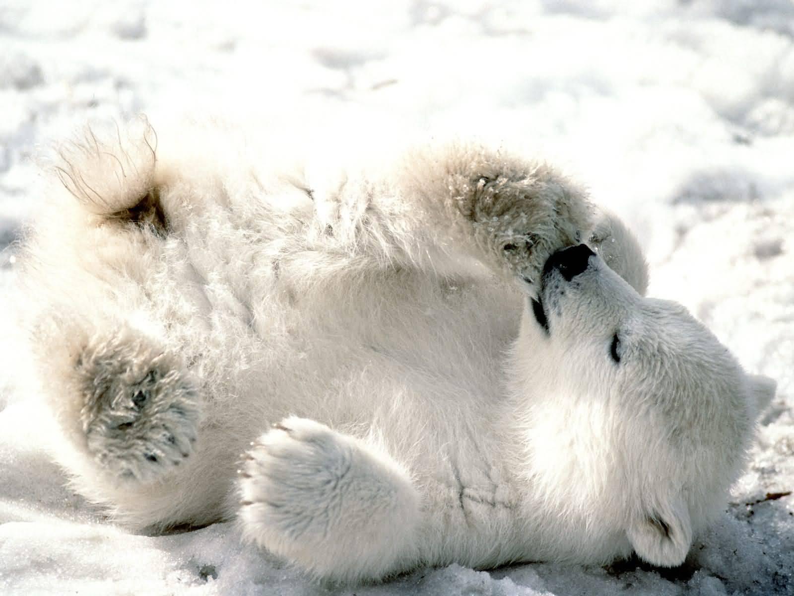 polar bears images aww baby polar hd wallpaper and background photos