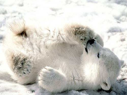 Aww baby polar  - polar-bears Wallpaper