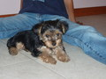 Chloe - yorkies photo