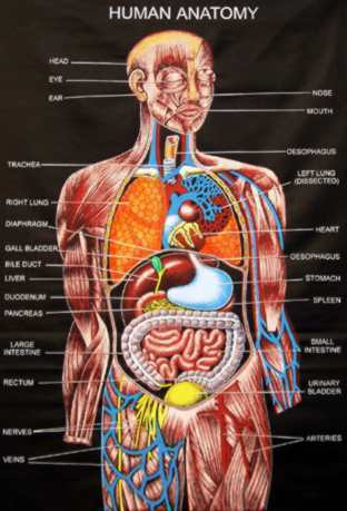 anatomi manusia wallpaper called Human Anatomy