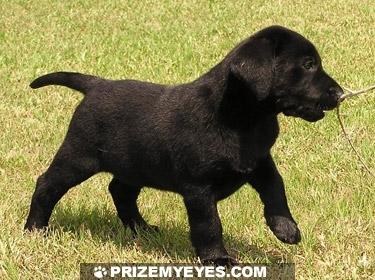 Labrador pupies