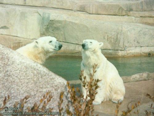 Polar Bears (3)