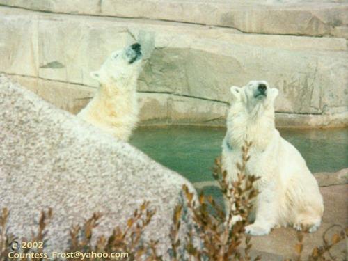 Polar Bears (2)