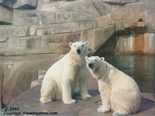 Polar Bears (1)