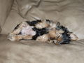 chloe curling up on the couch - yorkies photo