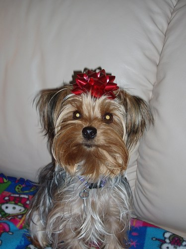 Yorkies wallpaper called chloes 1st christmas