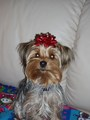 chloes 1st christmas - yorkies photo