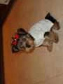 dressed up chloe - yorkies photo