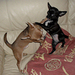 My 2 Chuhuahuas having a 'boxing match ' - dogs icon