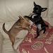 My 2 Chuhuahuas having a 'boxing match ' - dogs icon