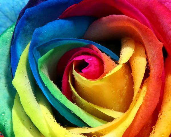 Rainbow rose random photo 10488937 fanpop for Where to find rainbow roses