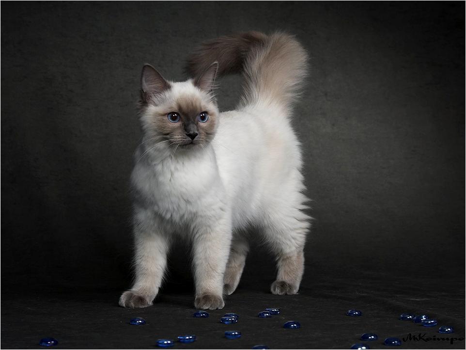 Kittens images Birman kitten HD wallpaper and background photos ...