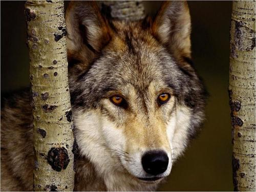 Cute serigala
