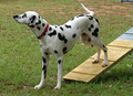 Dalmation Dog Agility - dog-agility photo