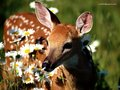 Deer in flowers - deer wallpaper