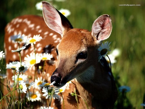 Deer in bulaklak