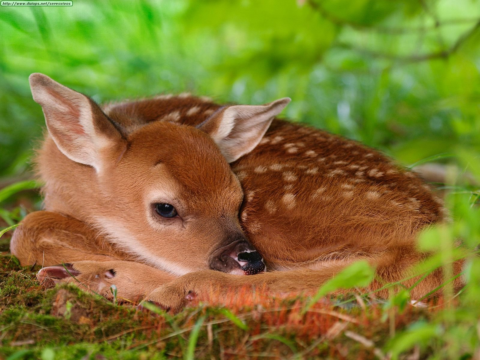 baby whitetail fawn in - photo #4