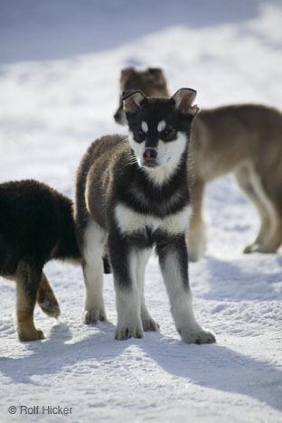Husky पिल्लें