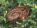 Sleeping fawn - deer photo