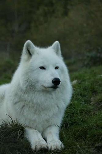 White 狼