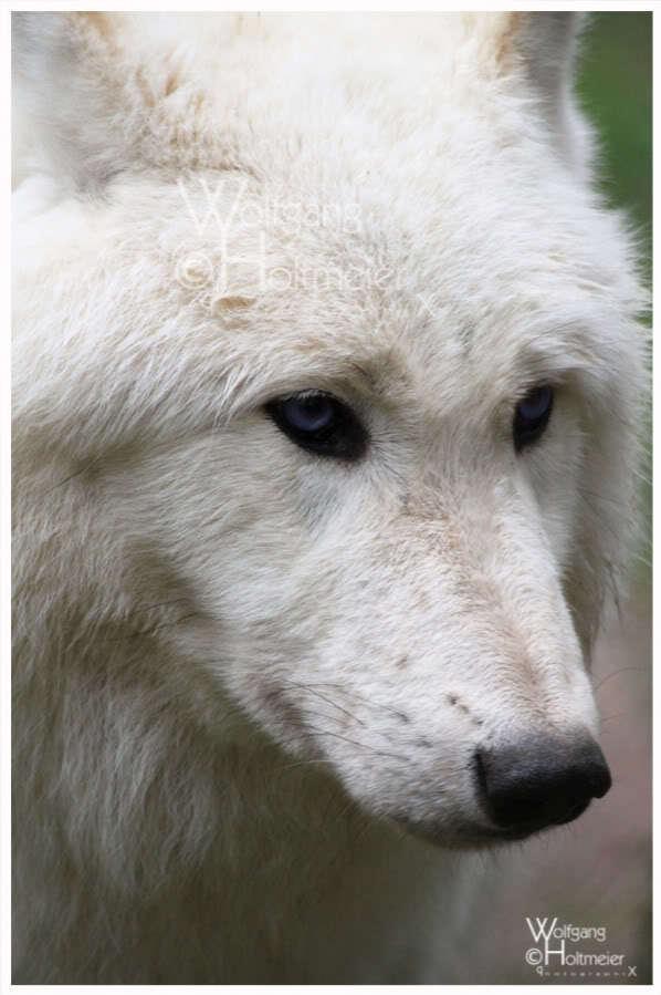 Wolves white wolves