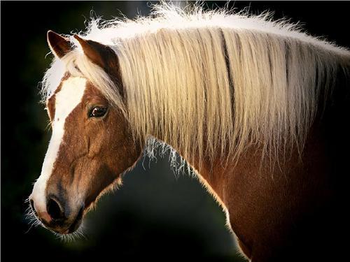 घोड़े वॉलपेपर called haflinger