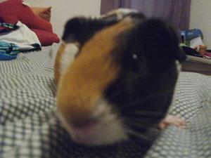 my guinea pig!
