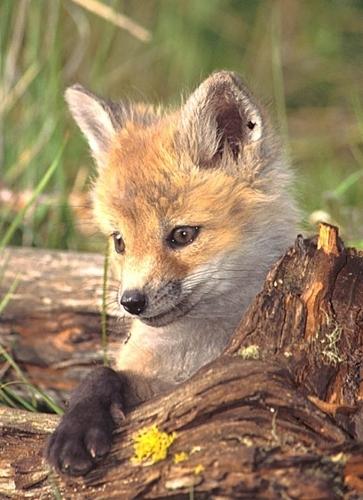 Fox lov