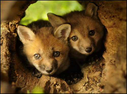 rubah, fox lov