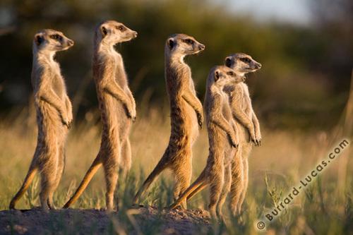 Meerkats March