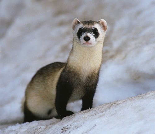 Black footed tọc mạch, chồn, ferret in the snow